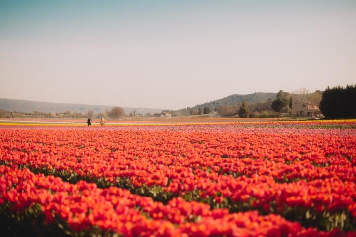 Où voir les champs de tulipes en Provence?